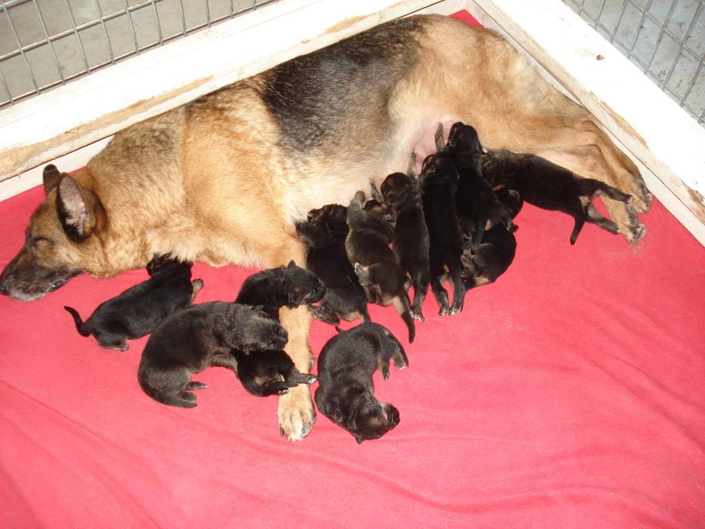 german_shepherd_feeding